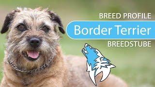 Border Terrier [2020] Breed, Temperament & Training