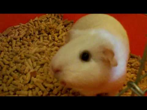 what does it mean when a guinea pig chirps