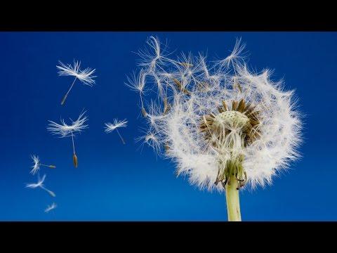 Ускоренная  съёмка.  Жизнь одуванчика / Time lapse Dandelion flower to seed head