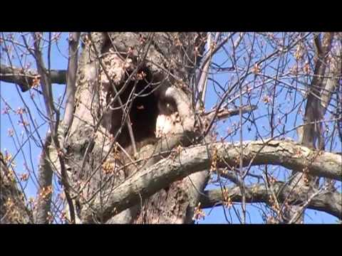 Big Tree Being Cut Down and Raccoon Battle