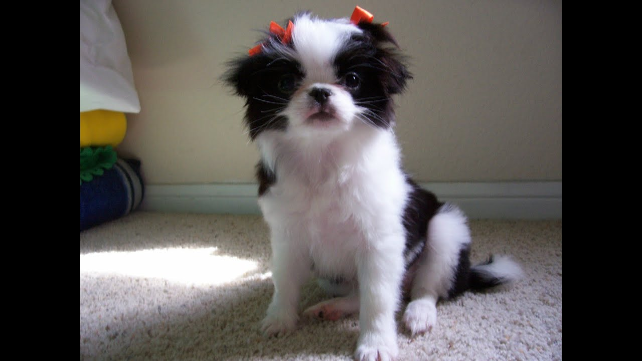 Japanese Chin Puppies For Sale In Columbus Ohio Oh North