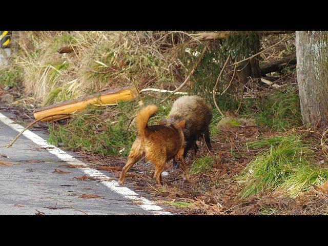 イヌとイノシシの戦い(2/2) Dog fighting Wild Boar(2/2)