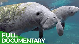 Manatees And Dugongs In Danger | Blue Realm | Free Documentary Nature