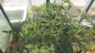 Мой огород - Томаты в теплице 05.07.14г / tomatoes in a greenhouse(Очередное видео про мои посадки в теплице.Выращивание томатов в теплице. Смотрим комментируем. Бесплатная..., 2014-07-14T16:55:44.000Z)