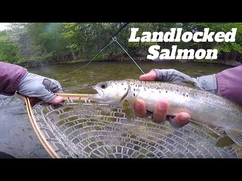 Maine Fly Fishing | Rain Out For Big Landlocked Salmon