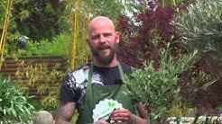 Der 1000 gute Gründe-Gärtner: Pflegetipps zum Olivenbaum