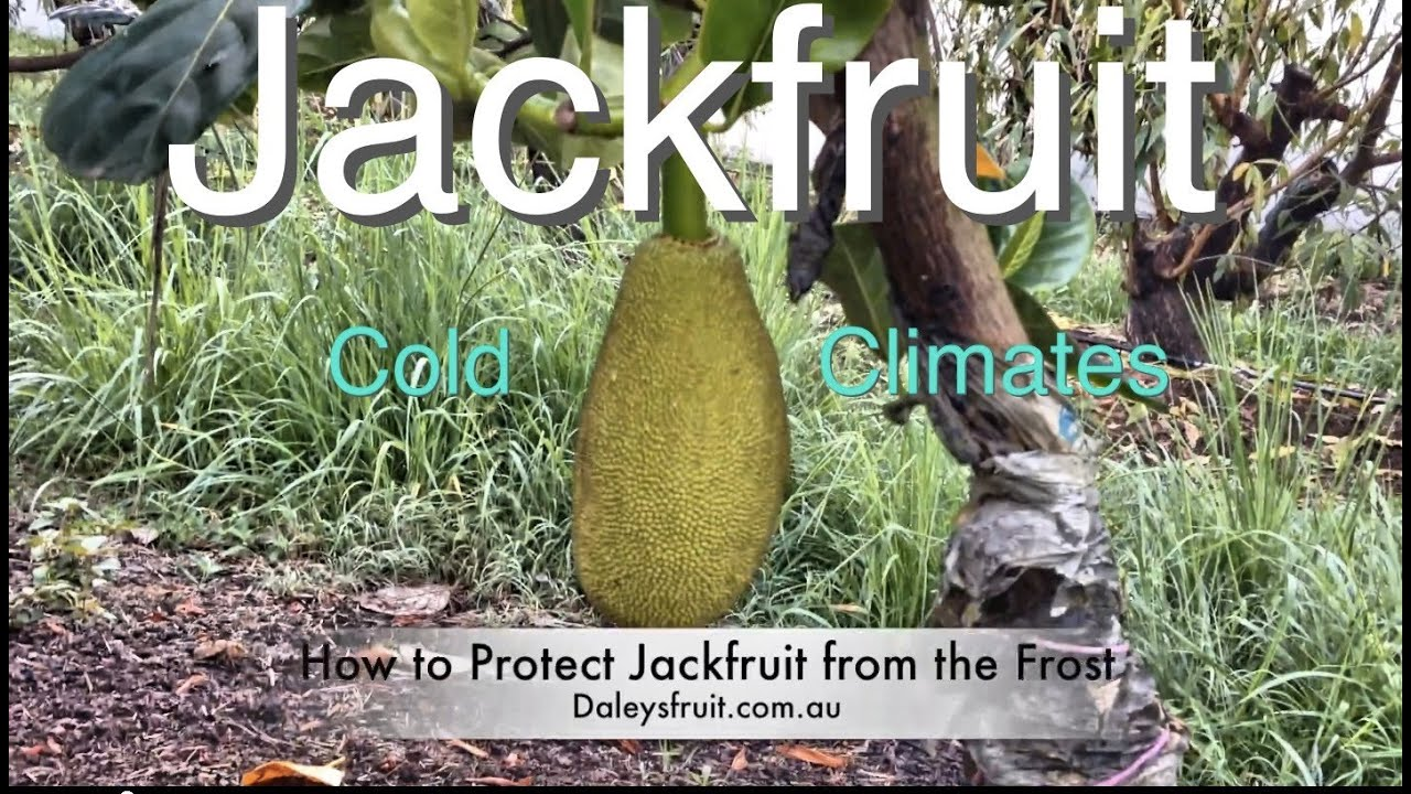 Grafted Jackfruit Tree Growing In Cold Climates