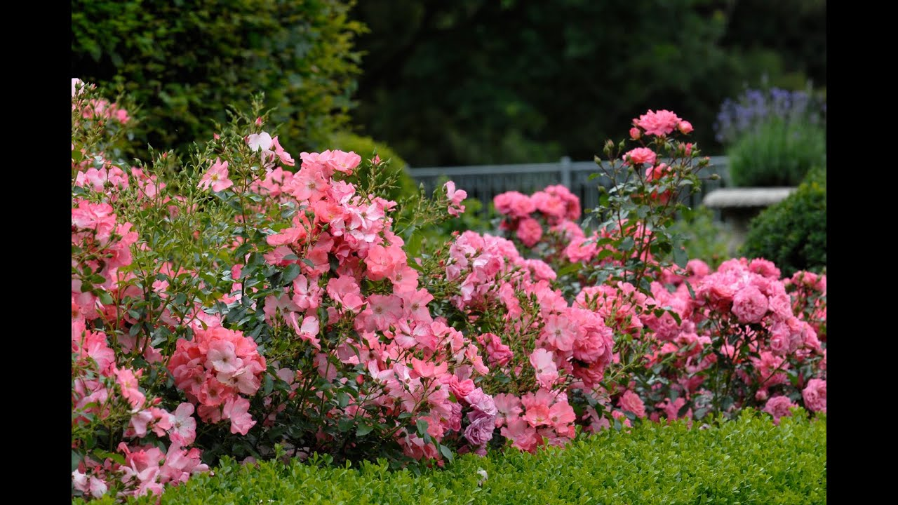 Flower Carpet Rose Landscaping Ideas Youtube