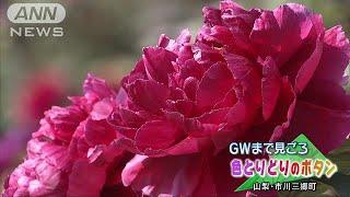2000本のボタンの花が見ごろ 山梨・市川三郷町(19/04/20) thumbnail