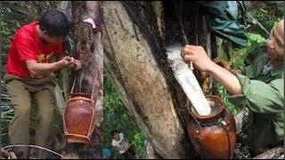 Kỳ lạ loại cây duy nhất trên thế giới cho 'rượu' ở Việt Nam