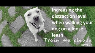 Train Me Please - Episode 4 - Increasing Distractions When Walking Your Dog On A Loose Leash