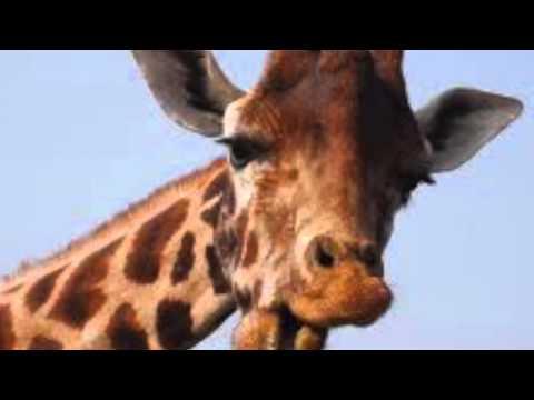 Giraffidae