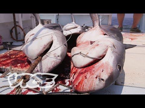 The Shark Hunters of Japan (Part 2/2)