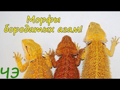 видео: Морфы бородатых агам