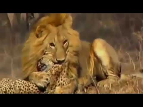 Lion vs Cheetah real Fight To Death - Wild...