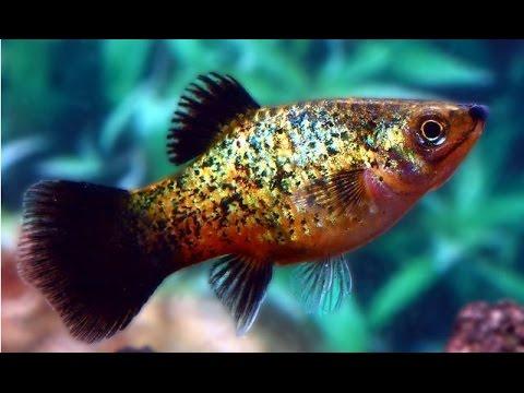 Xiphophorus Maculatus (Platy Fish, Пецилия)