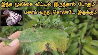 இந்த மூலிகை வீட்டில் இருந்தால் போதும் பணம் வந்து கொண்டே இருக்கும் | Ranakalli Plant in Tamil
