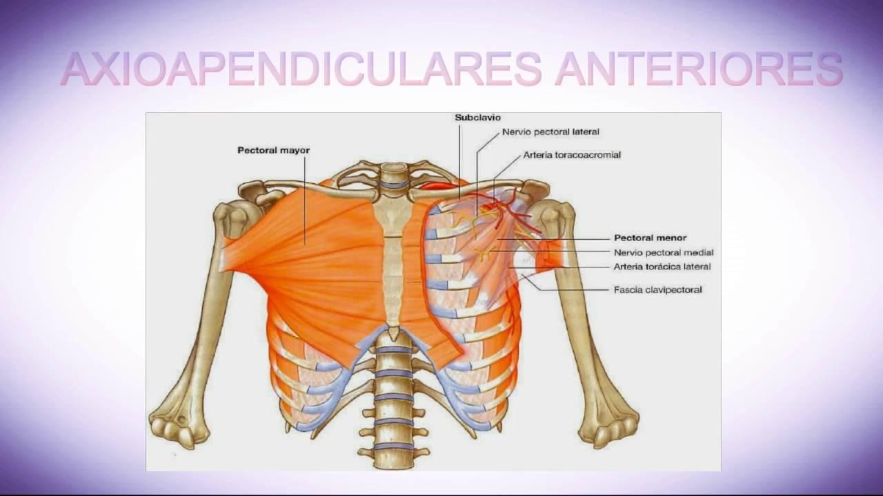 Anatomia de los Miembros Superiores - YouTube