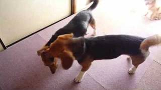http:/osanpoikuyo.blog112.fc2.com/ ワン7匹犬まみれ里親探し日記里親...