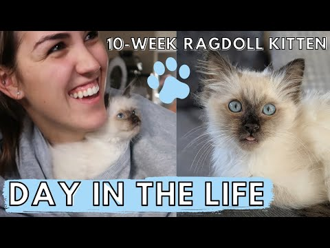 What It's REALLY Like To Own A RAGDOLL KITTEN! (Day In The Life) 🐱 Ep. 1