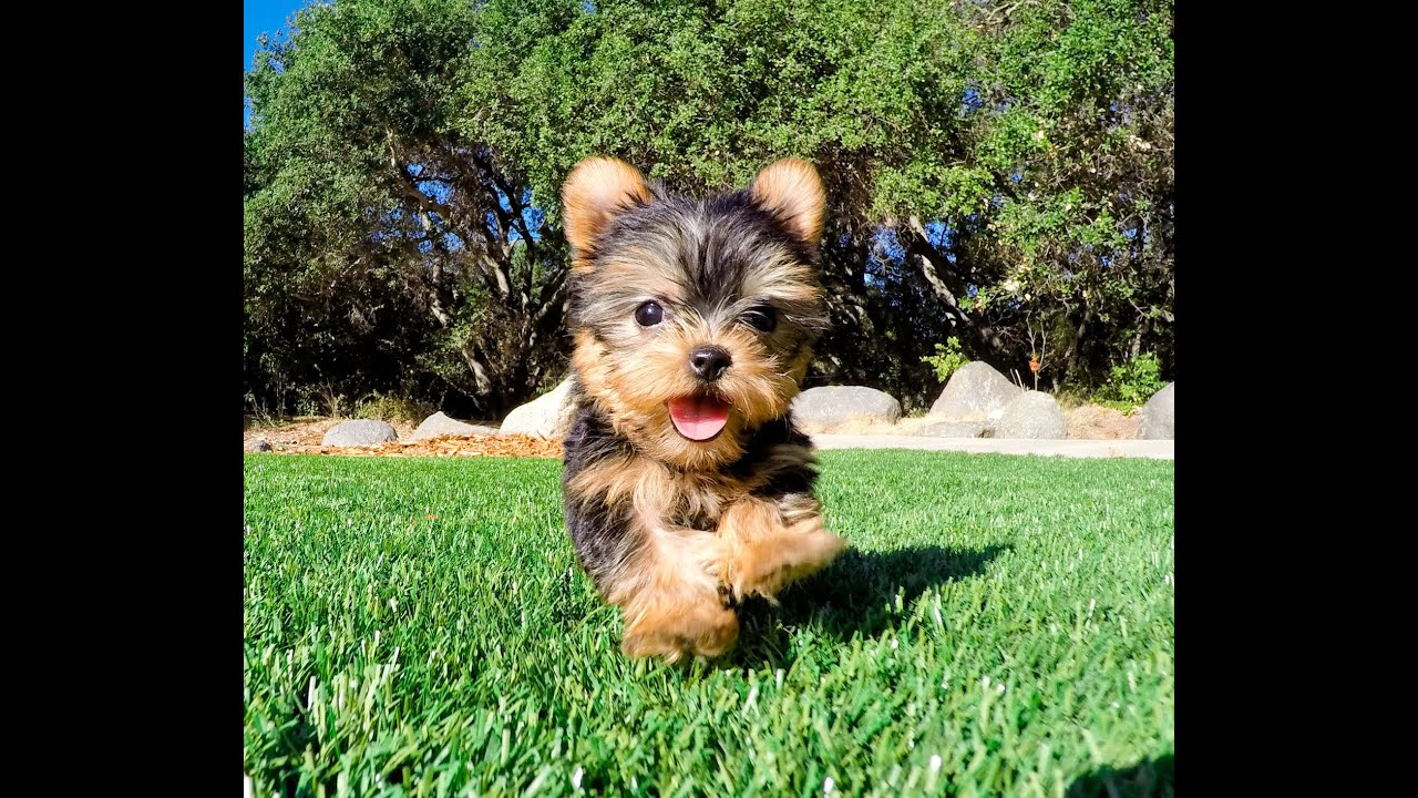 Eve the TEACUP Yorkshire Terrier Puppy for Sale Los ...
