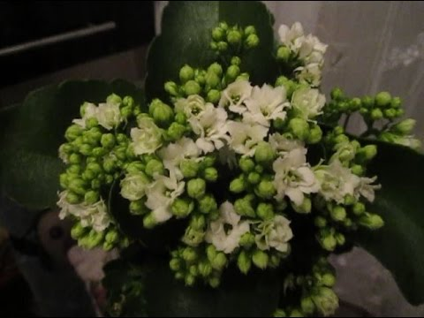 """""""Каланхоэ Блоссфельда-10. Пеньки ушли! Белые цветы – новинка"""""""