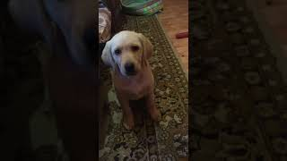 Лабрадор, обучение лабрадора, дрессировка собак, дрессировка лабрадора, щенки лабрадора