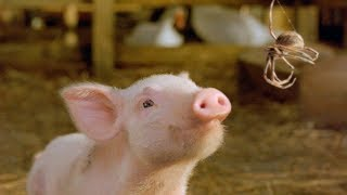 小猪为了不被主人杀掉,每天都要学会各种技能!一部喜剧奇幻电影