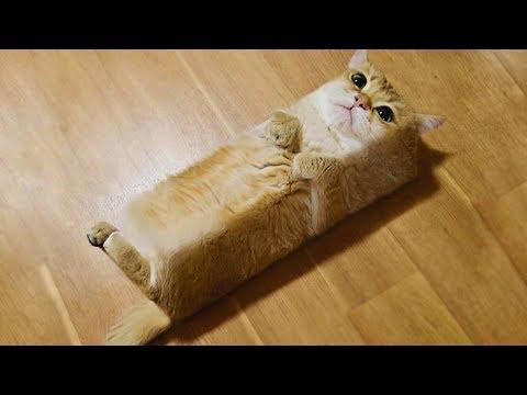 「かわいい猫」 笑わないようにしようとしてください - 最も面白い猫の映画 #298
