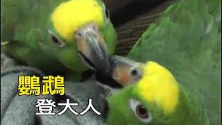 我不知道如何解釋~登大人!小黃帽鸚鵡