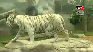 نمرة بنغالية تفوز بمسابقة «الأكثر جماهيرية» بحديقة حيوان في «بيرو»