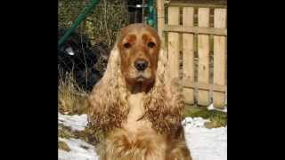 Cara's Bronze Beryll  - English Cocker Spaniel -