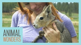 New Baby Patagonian Cavy!
