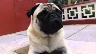 Adorable Pug Yawning