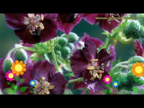 Герань темная Спрингтайм. Краткий обзор, описание характеристик geranium phaeum Springtime