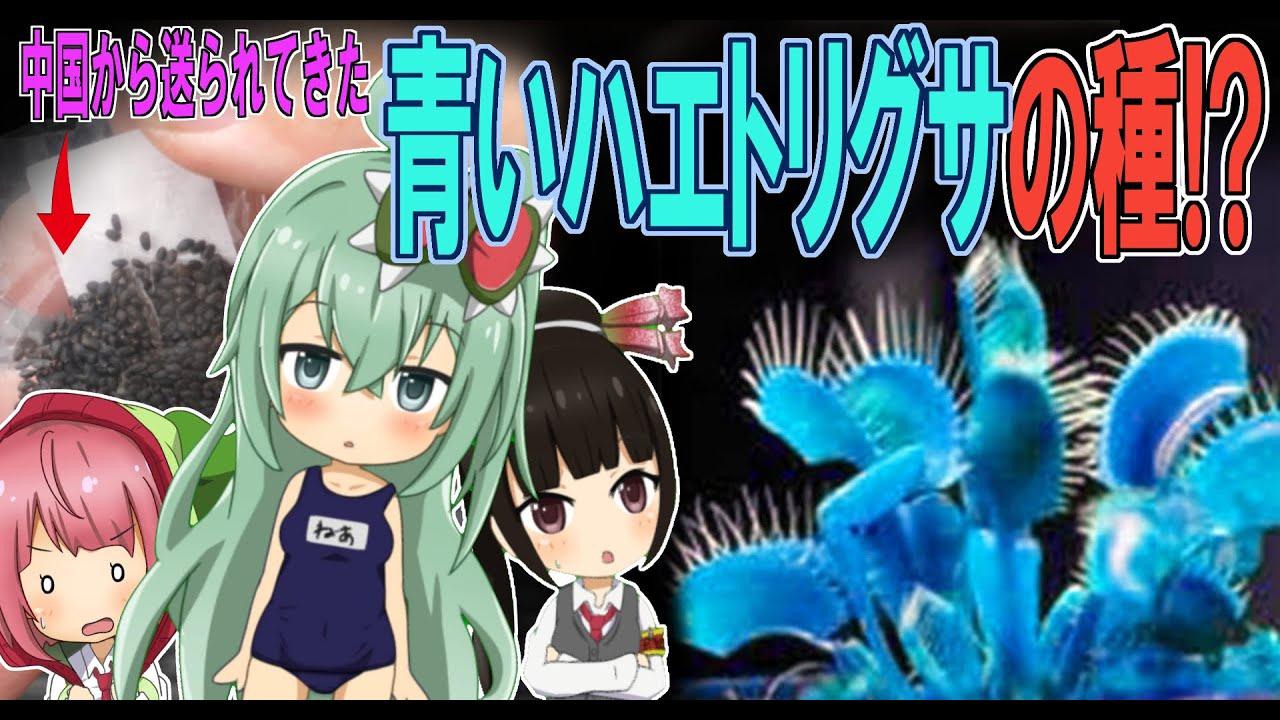 買ってはダメ!! 中国から送られてくる青色の食虫植物の種に注意!!【食虫植物TV】
