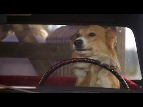 小狗为了回到主人身边,连开车都学会了,一部喜剧冒险电影