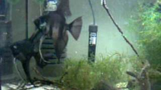 Angelfish black -breeding pair guards the eggs Thumbnail