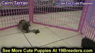 Cairn Terrier, Puppies, For, Sale, In, Albuquerque, New Mexico, Nm, Gallup, Carlsbad, Alamogordo, Ho