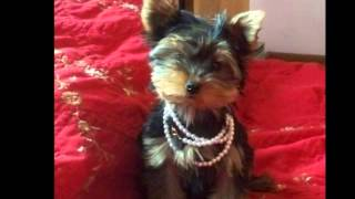 Akc Yorkie Puppies For Sale -  Pruitt Yorkies