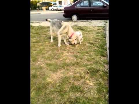 Pregnant Wolf Hybrid 6 Weeks Sasha Youtube