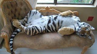 Домашние дикие кошки. Милота)