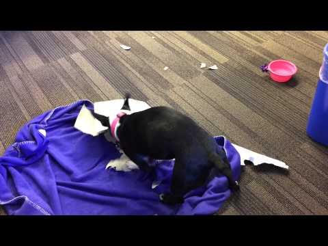 Funny Boston Terrier Goes Insane |  Boston Terribles