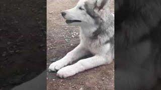 Husky Chews Dog Breath Away    ViralHog