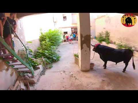 Toro En Cuerda Entra Al Corral De La Casa