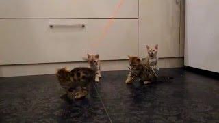 Бенгальские котята - мини леопардики!
