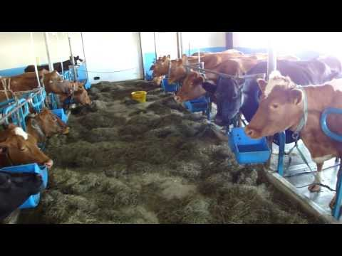 Cows at Vogafjos Cowshed, Myvatn, Iceland