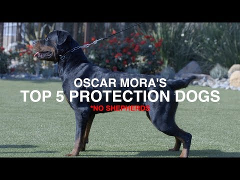 TOP 5 PROTECTION DOG BREEDS (NO SHEPHERDS): OSCAR MORA