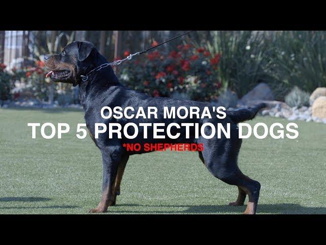 Top 5 Protection Dog Breeds No Shepherds Oscar Mora Youtube