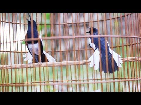 Video Kacer Juara Di Tebas Habis NgeGantang| Eka Milik AaDuki